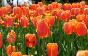 【日照图片】日光倾城里游走的郁金香花展-植物园行走攻略