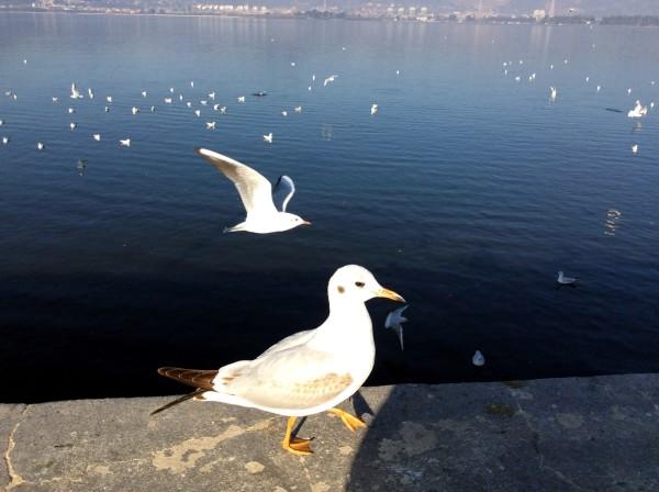 云南腾冲之行(一)滇池上的红嘴海鸥