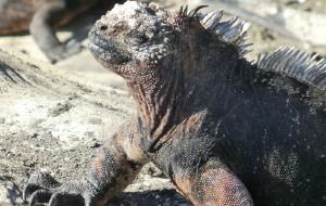 【加拉帕戈斯群岛图片】Galapagos Wildlife【加拉帕戈斯之海鬣蜥】