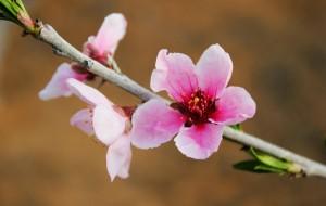 【蒙阴图片】桃花依旧笑春风