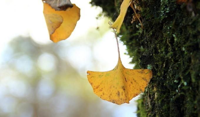 """看书中写到, 秋天的""""银杏叶""""是银杏树"""
