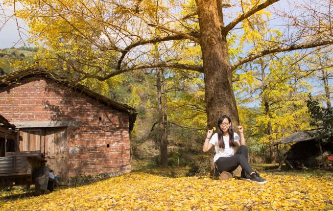 30摄氏度,看那一片秋色金黄——桂林银杏之旅图片