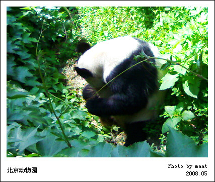 5月25日 北京动物园 大熊猫