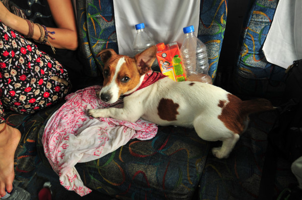 Image result for Jack Russell Terrier  狗 在車裡